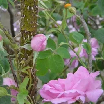 大马士革玫瑰